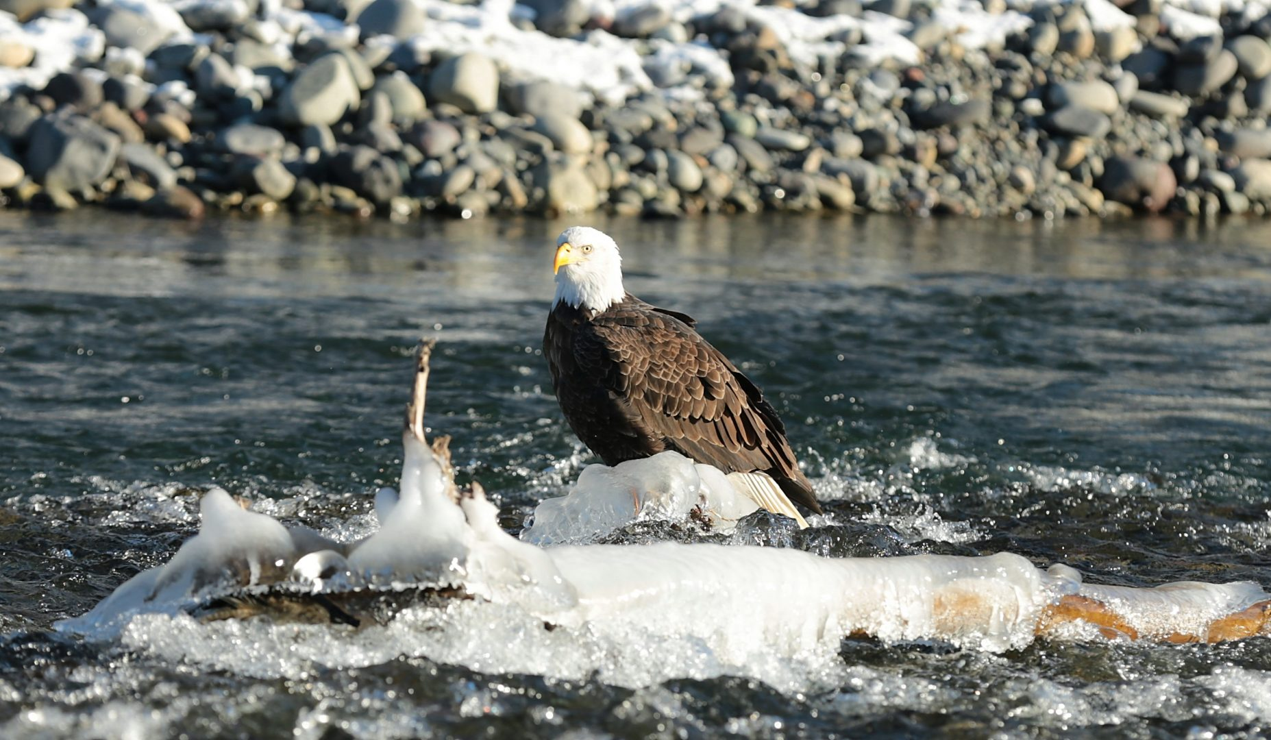 Bald Eagle at Nooksack River, Maple Falls, Washington